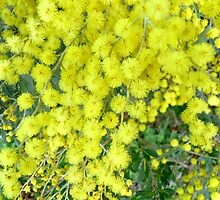 Acacia Dealbata (Silver Wattle) by Margaret  Hyde