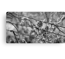 Wire Stem Thistle Canvas Print