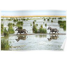 Zebra Cantering Across The Swamp Poster