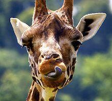 Rothschild Giraffe (Giraffa camelopardalis rothschildi). by Andrew Harker
