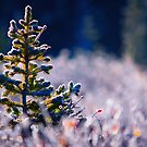 The Frosty Pine by John  De Bord Photography