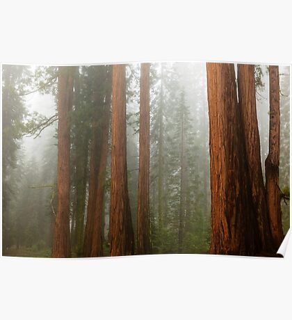 Redwood Forest in Fog Poster