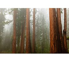 Redwood Forest in Fog Photographic Print