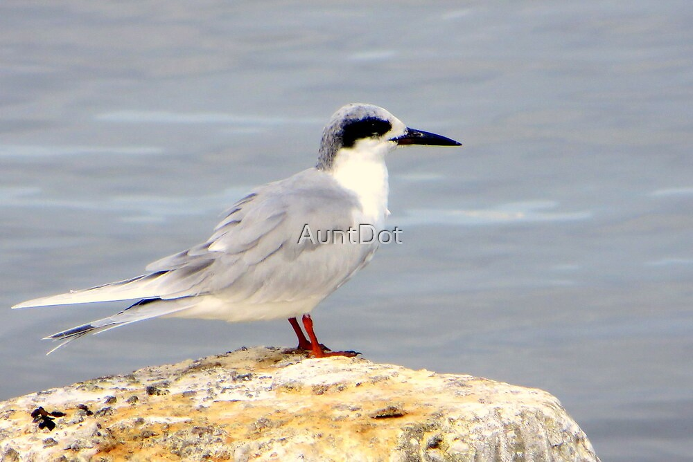 Forster's Tern by AuntDot