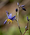 Tiny Bush Jewel - Dianella caerulea (Flax Lilly) by Robert Elliott