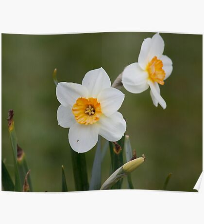 Whispering daffodils Poster