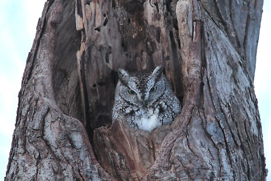 Little Screech Owl Grey Phase by hummingbirds