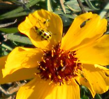 What's Eating Coreopsis? by Navigator