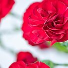 Red Carnations by Carolyn Clark
