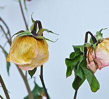 Dried Roses by Carolyn Clark