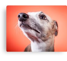 Whippet pet dog Canvas Print