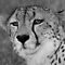 A wild cheetah portrait by jozi1