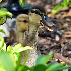 Ducklings by Brian L. Giddings of Emotions Photography Inc.