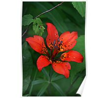 Prairie Wood Lily (Tiger Lily) Poster