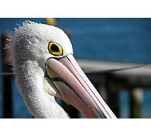 Pelican Pose Photographic Print