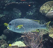 Sweetlips by Bob Hardy
