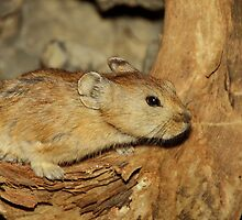Gerbil in the Wild, Mongolia by Carole-Anne