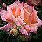 *AVATAR/Full Rose & Bud Challenge -Enchanted Flowers*