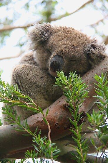 Koala by Pant52005