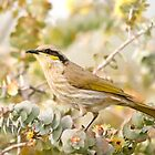 Singing honeyeater on yellow eucalypt by Jennie  Stock
