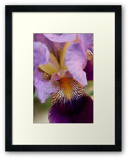 From the Garden - Into the Iris by Sally Haldane