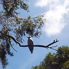 Kookaburra On My Street - Seven - 19 11 12 by Robert Phillips