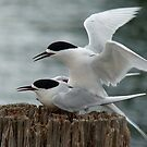 It&#x27;s Our Tern To Mate - White-Fronted Terns - NZ by AndreaEL