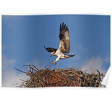 Osprey Landing on Nest Poster