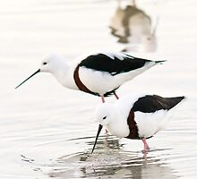 Banded stilts feeding by Jennie  Stock