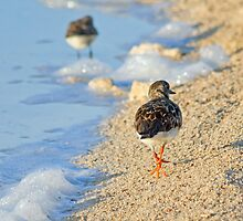 Turnstone strolling on the beach by Jennie  Stock