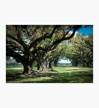 Ancient oak trees at Oak Alley Plantation, Vacherie, Louisiana, USA Photographic Print
