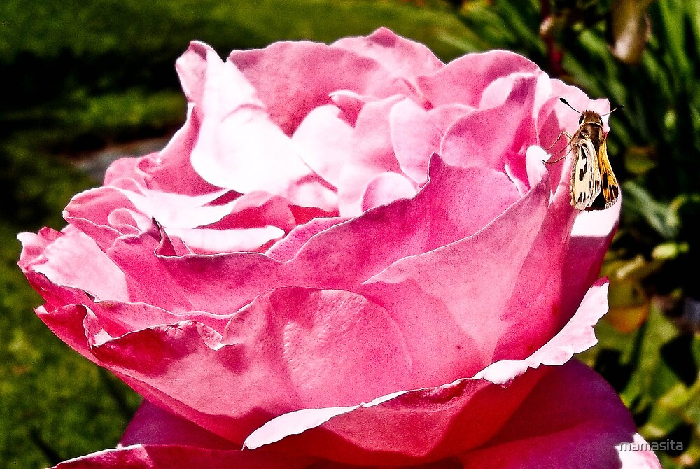 Pink Rose With Butterfly by mamasita