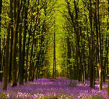 Bluebells Wood 20 by lc-photo