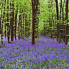 Bluebells Wood Panorama by lc-photo