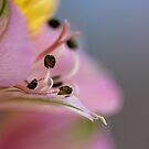 Inca Lily macro by fourthangel