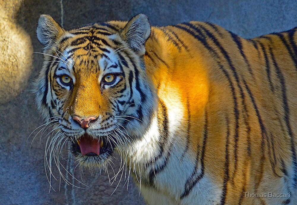 Approaching Tiger by TJ Baccari Photography