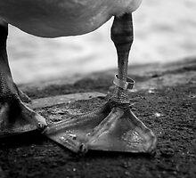 Ringed Swan Leg by TehRen