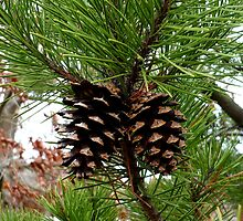 Pinecones by Jess Meacham
