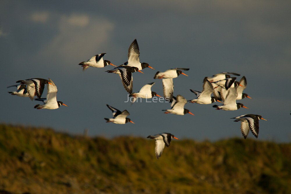 Oystercatchers in flight by Jon Lees
