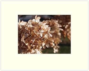 Dried Hydrangea Paniculata  by Linda Makiej