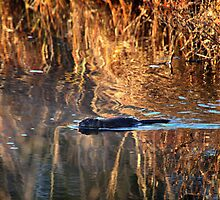 Muskrat Swimming in Gold by Nazareth