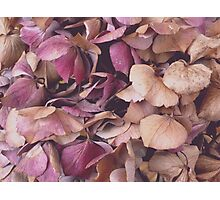 Hydrangea (Available in iPhone, iPod & iPad cases) Photographic Print