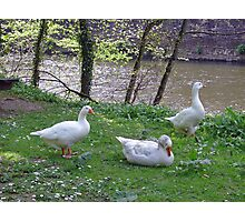 Riverside Geese  Photographic Print