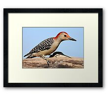 Another Red Belly.... Framed Print
