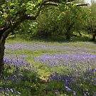Bluebell Woods by RoystonVasey