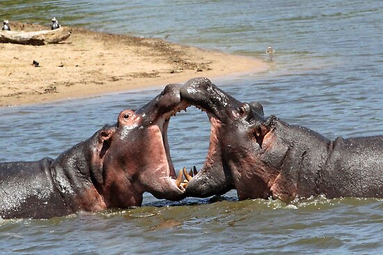 Smooching hippo style!! by jozi1