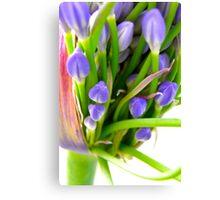 Agapanthus Blooming Canvas Print