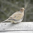 Morning Dove by Martha Medford