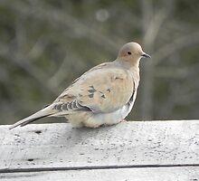 Morning Dove by Martha Medford