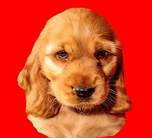 Cocker Spaniel Puppy by Dave  Knowles